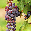 Red Grapes by Elena Elisseeva