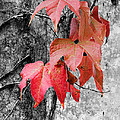 Red Leaves by Jim And Emily Bush