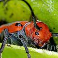 Red Milkweed Beetle by Ted Kinsman