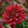 Red Petals by Susan Herber