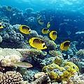 Red Sea Raccoon Butterflyfish by Georgette Douwma