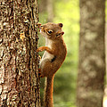 Red Squirrel by Ted Kinsman