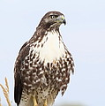 Red-tail Hawk  by Angie Vogel