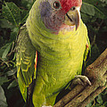 Red-tailed Amazon Amazona Brasiliensis by Claus Meyer