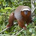Red Titi Monkey by Tony Camacho