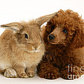 Red Toy Poodle And Rabbit by Mark Taylor