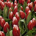 Red Tulip Heaven by Trish Tritz
