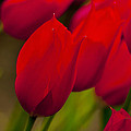Red Tulips In Holland by Beth Riser