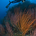 Red Whip Fan Coral With Diver, Papua by Steve Jones