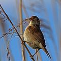 Reed Warbler by David Pringle