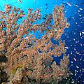Reef Scene With Sea Fan, Papua New by Steve Jones