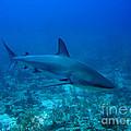 Reef Shark by Pedro Capelossi