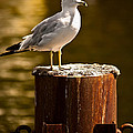 Ring-billed Gull On Pillar by  Onyonet  Photo Studios