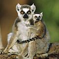 Ring-tailed Lemur Mother And Baby by Cyril Ruoso