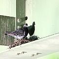 Rock Pigeon by Jack R Brock