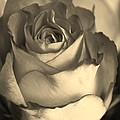 Rose In Sepia by Bruce Bley