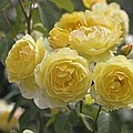 Rose (rosa 'charlotte Auspoly') by Dr Keith Wheeler