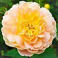 Rose  by Tom Gowanlock