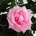 Rose With Droplets And Green Leaves by Cedric Sureau