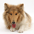 Rough Collie by Mark Taylor