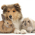 Rough Collie Pup With Two Young Rabbits by Mark Taylor