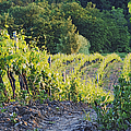 Rows Of Grapevines At Sunset by Jeremy Woodhouse