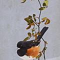 Rufous-sided Towhee by Ron Jones
