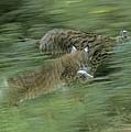 Running Lynx by Ulrich Kunst And Bettina Scheidulin