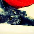 Russian Blue Cat by Klara Acel
