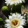 Saguaro Blooms  by Saija  Lehtonen