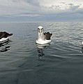 Salvin's Albatrosses by Tony Camacho