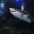 Sand Tiger Shark, Blue Zoo Aquarium by Mathieu Meur