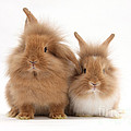 Sandy Lionhead Rabbits by Mark Taylor