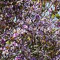 Saucer Magnolia Or Tulip Tree Magnolia X Soulangeana by Allan  Hughes