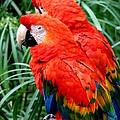 Scalet Macaw by Henrik Lehnerer