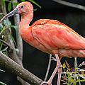 Scarlet Ibis by Greg Nyquist