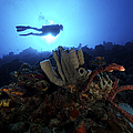 Scuba Diver Swims By Some Large Sponges by Terry Moore