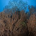 Sea Fan Seascape, Belize by Todd Winner