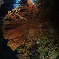 Sea Fans, Fiji by Todd Winner