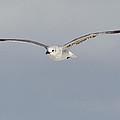Sea Gull In Flight by Mike Rivera