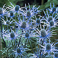 Sea Holly (eryngium X Oliverianum) by Archie Young