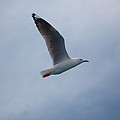 Seagull by Carole Hinding