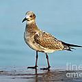Seagull by John Greim