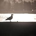 Seagull by Ralf Kaiser