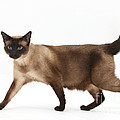 Seal Point Siamese Cat by Mark Taylor