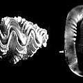Seashells by Frank Wilson