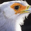 Secretary Bird by David Aubrey