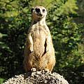 Sentinel Meerkat by Carla Parris