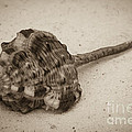 Sepia Shell by Jim And Emily Bush