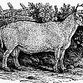 Sheep, C1800 by Granger